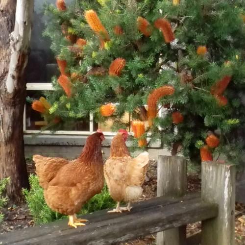 Chickens 002