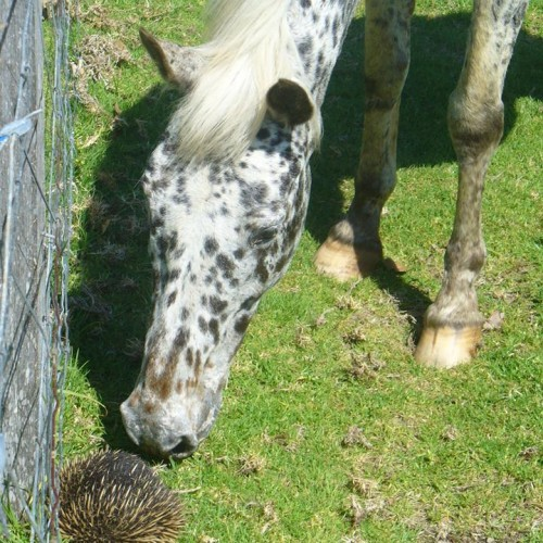 horse & echidna